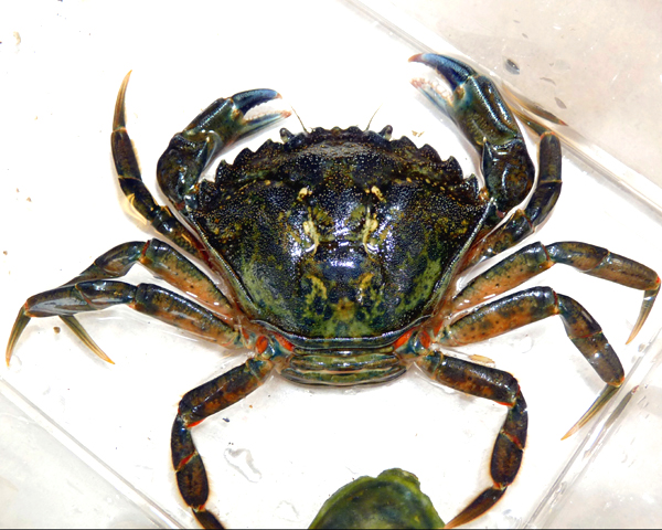 Dungeness crab fisher